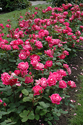 Double Knock Out Rose (Rosa 'Double Knock Out') at Echter's Nursery & Garden Center