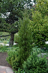 Spearmint Juniper (Juniperus chinensis 'Spearmint') at Echter's Nursery & Garden Center