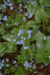 Alexander's Great Bugloss (Brunnera macrophylla 'Alexander's Great') at Echter's Nursery & Garden Center