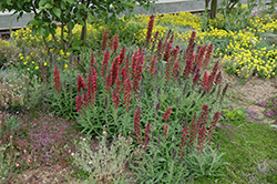 Red Feathers (Echium amoenum) at Echter's Nursery & Garden Center