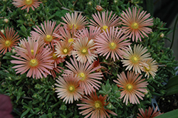Fire Spinner Ice Plant (Delosperma 'Fire Spinner') at Echter's Nursery & Garden Center