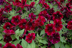 Sweetunia Johnny Flame Petunia (Petunia 'Sweetunia Johnny Flame') at Echter's Nursery & Garden Center