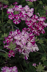 Lanai® Purple Star Verbena (Verbena 'Lanai Purple Star') at Echter's Nursery & Garden Center