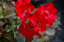 Screaming Neon Red™ Rose (Rosa 'BAIneon') at Echter's Nursery & Garden Center