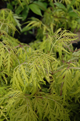 Lemony Lace® Elder (Sambucus racemosa 'SMNSRD4') at Echter's Nursery & Garden Center