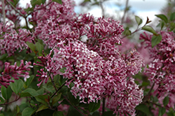 Bloomerang® Purple Lilac (Syringa 'Penda') at Echter's Nursery & Garden Center
