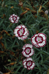 Raspberry Swirl Pinks (Dianthus 'Devon Siskin') at Echter's Nursery & Garden Center