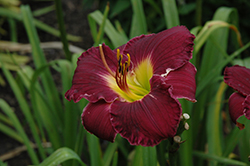 Bela Lugosi Daylily (Hemerocallis 'Bela Lugosi') at Echter's Nursery & Garden Center