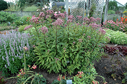 Baby Joe Dwarf Joe Pye Weed (Eupatorium dubium 'Baby Joe') at Echter's Nursery & Garden Center