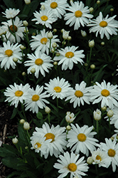 Whoops-A-Daisy Shasta Daisy (Leucanthemum x superbum 'Whoops-A-Daisy') at Echter's Nursery & Garden Center