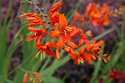 Bright Eyes Crocosmia (Crocosmia 'WALBREYES') at Echter's Nursery & Garden Center