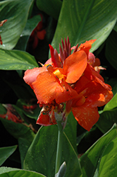 Cannova Red Canna (Canna 'Cannova Red') at Echter's Nursery & Garden Center