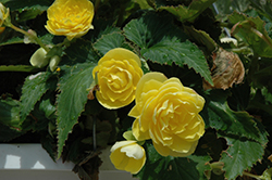 Nonstop® Joy Yellow Begonia (Begonia 'Nonstop Joy Yellow') at Echter's Nursery & Garden Center