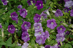 Supertunia® Morning Glory Charm Petunia (Petunia 'Supertunia Morning Glory Charm') at Echter's Nursery & Garden Center