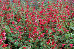 Summer Jewel Red Sage (Salvia 'Summer Jewel Red') at Echter's Nursery & Garden Center