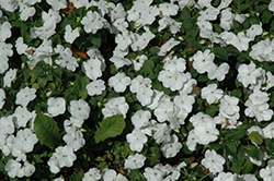 Lollipop Coconut White Impatiens (Impatiens 'Lollipop Coconut White') at Echter's Nursery & Garden Center