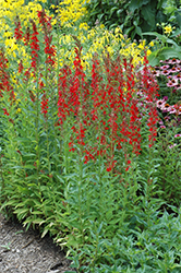 Cardinal Flower (Lobelia cardinalis) at Echter's Nursery & Garden Center