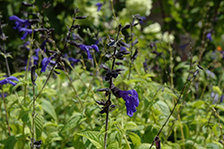 Black And Blue Anise Sage (Salvia guaranitica 'Black And Blue') at Echter's Nursery & Garden Center