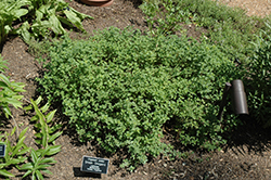 Greek Oregano (Origanum onites) at Echter's Nursery & Garden Center