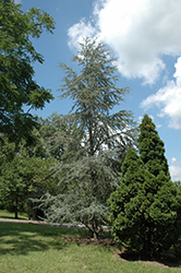 Blue Atlas Cedar (Cedrus atlantica 'Glauca') at Echter's Nursery & Garden Center