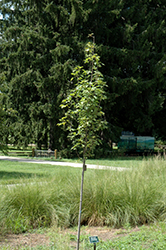 Armstrong Gold Red Maple (Acer rubrum 'JFS-KW78') at Echter's Nursery & Garden Center