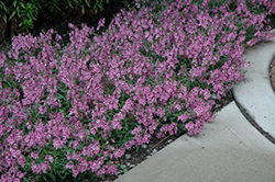 AngelMist® Spreading Pink Angelonia (Angelonia angustifolia 'AngelMist Spreading Pink') at Echter's Nursery & Garden Center