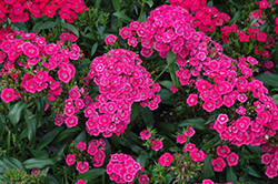 Jolt™ Pink Pinks (Dianthus 'Jolt Pink') at Echter's Nursery & Garden Center