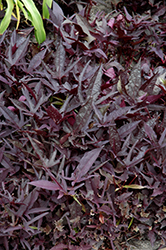 SolarPower Black Sweet Potato Vine (Ipomoea batatas 'SolarPower Black') at Echter's Nursery & Garden Center