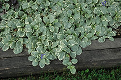 Silver Queen Bugleweed (Ajuga reptans 'Silver Queen') at Echter's Nursery & Garden Center