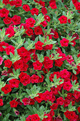 MiniFamous® Double Compact Red Calibrachoa (Calibrachoa 'MiniFamous Double Compact Red') at Echter's Nursery & Garden Center