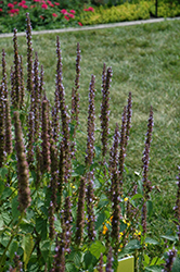Little Adder Hyssop (Agastache rugosa 'Little Adder') at Echter's Nursery & Garden Center