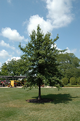 Shingle Oak (Quercus imbricaria) at Echter's Nursery & Garden Center