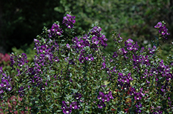 Alonia Big Indigo Angelonia (Angelonia angustifolia 'Alonia Big Indigo') at Echter's Nursery & Garden Center