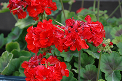Brocade Fire Geranium (Pelargonium 'Brocade Fire') at Echter's Nursery & Garden Center