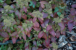 Double Play® Artisan® Spirea (Spiraea japonica 'Galen') at Echter's Nursery & Garden Center