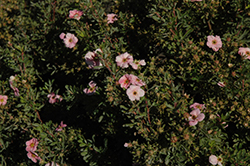 Happy Face® Pink Paradise Potentilla (Potentilla fruticosa 'Kupinpa') at Echter's Nursery & Garden Center