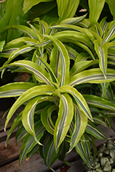Lemon Lime Dracaena (Dracaena deremensis 'Lemon Lime') at Echter's Nursery & Garden Center