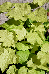 Cool Gold Piggyback Plant (Tolmiea menziesii 'Cool Gold') at Echter's Nursery & Garden Center