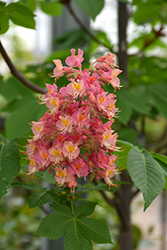Fort McNair Red Horse Chestnut (Aesculus x carnea 'Fort McNair') at Echter's Nursery & Garden Center