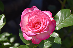 Miss Congeniality Rose (Rosa 'WEKpurmebep') at Echter's Nursery & Garden Center