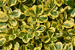 Gold Splash® Wintercreeper (Euonymus fortunei 'Roemertwo') at Echter's Nursery & Garden Center