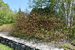 Bailey's Red Twig Dogwood (Cornus sericea 'Baileyi') at Echter's Nursery & Garden Center