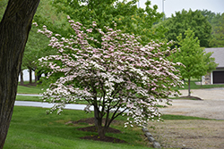 Stellar Pink Flowering Dogwood (Cornus 'Stellar Pink') at Echter's Nursery & Garden Center