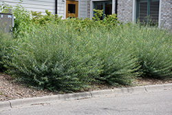 Creeping Arctic Willow (Salix purpurea 'Nana') at Echter's Nursery & Garden Center