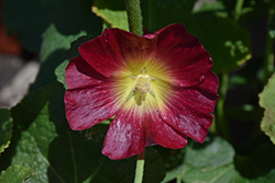Halo Red Hollyhock (Alcea rosea 'Halo Red') at Echter's Nursery & Garden Center