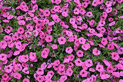 ColorRush™ Pink Petunia (Petunia 'Balcushink') at Echter's Nursery & Garden Center