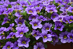 Cabaret® Sky Blue Calibrachoa (Calibrachoa 'Cabaret Sky Blue') at Echter's Nursery & Garden Center