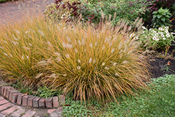 Hameln Dwarf Fountain Grass (Pennisetum alopecuroides 'Hameln') at Echter's Nursery & Garden Center