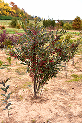 Brilliantissima Red Chokeberry (Aronia arbutifolia 'Brilliantissima') at Echter's Nursery & Garden Center