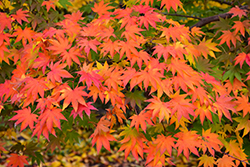 Japanese Maple (Acer palmatum) at Echter's Nursery & Garden Center
